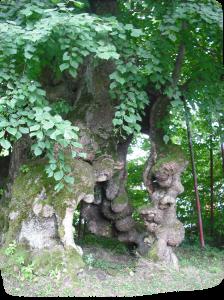 Bild-1-zu-Baumbestattungen